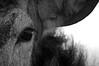 Stags Eye (andy_AHG) Tags: reddeer stag antlers wildlife animals mammal nikond300s