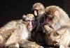japanese macaque artis BB2A7674 (j.a.kok) Tags: mammal artis animal aap primaat primate monkey makaak macaque macaca japanesemacaque japansemakaak zoogdier dier asia azie