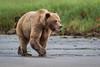 Grizzly Bear (Turk Images) Tags: britishcolumbia coastalrainforest greatrainforest grizzlybear ktzimadeengrizzlybearsanctuary khutzeymateengrizzlybearreserve maritimecoast ursusarctoshorribilis breedingseason bears mammals ursidae
