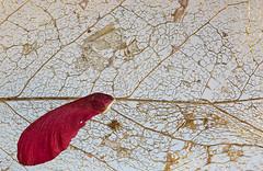 Ensnared (KellarW) Tags: red snared mapleseed itsatrap net leaf skeleton nature isolatednature captivated trapped skeletonleaf isolated caught captured captive web webbing