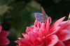 Contrasting colours (Fotos4RR) Tags: blume flower red redflower rot roteblume flora macro makro dahlie dahlia dahlien schmetterling butterfly bläuling blue bluebutterfly blauerschmetterling natur nature blüte bloom blooming bokeh