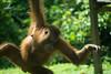 Swinging orangutan (Xnalanx) Tags: activity ape asia borneo malaysia mammals orangutan places playing sandakan sepilokorangutanrehabilitationcentre wildlife