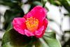 Kamelie (Rolf Piepenbring) Tags: kamelie camelliajaponica krefeld botanischergarten botanicalgarden botanicalgardenkrefeld