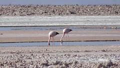 143 Laguna de Chaxa+ los flamencos (roving_spirits) Tags: chile atacama atacamawüste atacamadesert desiertodeatacama désertcôtier küstenwüste desiertocostero coastaldesert