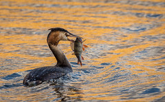 Catch of the day (Mightily Oats) Tags: nikond7200 naturallight nature londonwetlandscenter sigma150600mmc greatcrestedgrebe