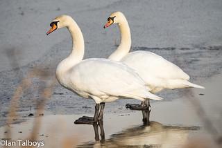 Loch of Strathbeg Mute Swans