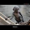 XOLA (Matthias Besant) Tags: affe affen affenfell animal animals ape apes pygmychimpanzee fell zwergschimpanse hominidae hominoidea mammal mammals menschenaffen menschenartig menschenartige monkey monkeys primat primaten saeugetier saeugetiere tier tiere trockennasenaffe bonobo schauen blick blicken augen eyes look looking baby xola bonobobaby child kind zoo zoofrankfurt matthiasbesant hessen deutschland