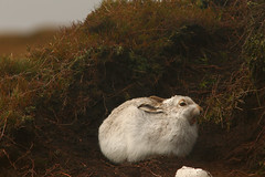So Bored With The Company (Derbyshire Harrier) Tags: yawn peakdistrict peakpark moorland mountainhare peat snow wintercoat winter derbyshire december christmas 2017