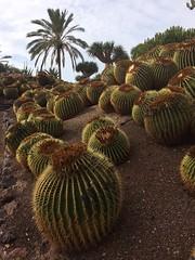 Cactii (markshephard800) Tags: cactii garden jardin jardim tuin giardino garten canarias canaries fuerteventura