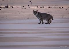 Thursdays blessing (flintframer) Tags: bobcat nature wildlife ice richard lake muscatatuck nwr indiana wow dattilo america canon 7d markii tamron 18400mm
