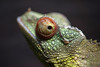 Jackson's Chameleon. (LisaDiazPhotos) Tags: jacksons chameleon lisadiazphotos wildlife world zoo arizona