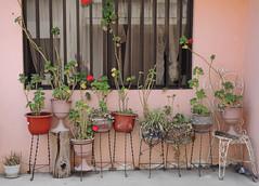 Geraniums against the window (mcfcrandall) Tags: flower pots terracotta metal plantstands geraniums bars pinkwall window curtain growing flowers leaves