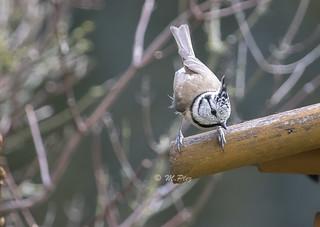 Haubenmeise / European crested tit