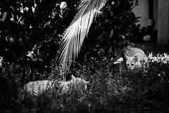 21677 - The Match (Diego Rosato) Tags: amy rory gatti cats animals animeli pets giardino garden bianconero blackwhite nikon d700 70200mm sigma rawtherapee fight lotta gioco play match game hunt caccia