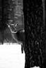 PIO_2110M-01 (MILESI FEDERICO) Tags: milesi milesifederico montagna montagne piemonte piedmont italia italy iamnikon alpi alpicozie visitpiedmont valsusa valdisusa valliolimpiche valledisusa nikon nikond7100 nital d7100 dettagli details 2018 inverno winter snow neve nevicata neige bianconero bw biancoenero blackandwhite blackwhite monocromatico natura nature nat wild wildlife cervo bosco mammifero
