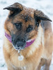 Bear (Jodie Middleton) Tags: snow white bear dog alsatian germanshepard