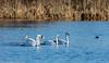 0T4A0686 (2) (Alinbidford) Tags: alancurtis alinbidford brandonmarsh wildbirds muteswan