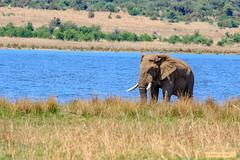 Pensive elephant (Johann (Sasolburg, RSA.)) Tags: elephant olifant pilanesberg letshalink ef70300mmf456isusm canoneos7dmarkii makemesmile ngc coth5