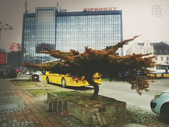 big bonsai tree in the city (Ola 竜) Tags: street tree city bonsai pine winter bonsaitree plant pavement sidewalk cloudyday graysky glass building windows architecture urban nature pavingstones moss dryleaves conifer road cars bus composition streetphotography