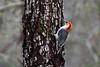 Red-bellied Woodpecker (deanrr) Tags: bird nature outdoor morgancountyalabama alabama redbelliedwoodpecker woodpecker wildlife alabamawildlife tree texture bokeh male maleredbelliedwoodpecker tamron18400mm