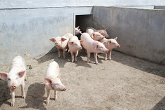 Pigs Kyenam Stock Farm (Ray Cunningham) Tags: kyenam stock farm north korea dprk