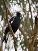 Contemplation (Derek Midgley) Tags: p1135511 australian magpie cracticustibicen