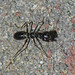 Makunda Insects-5311 - Odontomantis sp.