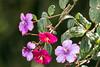 IMG_6769 Glory Bush ( Tibouchina lepiodota) (suebmtl) Tags: flowers andesmountains ecuador colorful highlands shrub pink purple purpleglorybush glorybush tibouchinalepidota