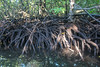 Mangroves entangled aerial roots (blue.forests) Tags: seagrass mangroves indonesia lembongan blue forests aerial roots mangrove habitat ecosystem coastal fieldwork boat mud crabs beach