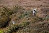GreyHeron_and_LittleEgret (hawaza) Tags: bird birds wader heron egret littleegret greyheron riaformosa algarve portugal