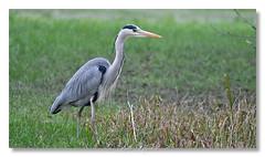 Le Héron cendré  Grey Heron (Bob_Reinert) Tags: water eau birds bobreinert oiseaux outdoor etang nikon nature alsace heron grey faune cendré héron