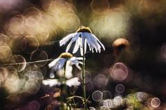 in right direction (Radosław Owczarczak) Tags: bubbles bokeh bubblebokeh cienelens colours autumn background nature flowers macro morningdew dew meyeroptikgörlitz diaplan100mm28
