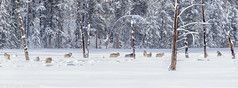 _X2I2224 (adovision) Tags: yellowstone usa national parks wolves winter landscapes wolf pack