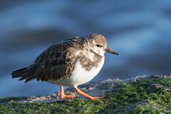 Ruddy Turnstone on the moss (Susan Jarnagin) Tags: bird shorebird barnegatlight nj wildlife arenariainterpres oceancounty ruddyturnstone