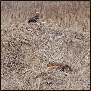 The Fox And The Marsh Harrier (image 2 of 3)