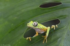 Lemur treefrog (a.chiezzi) Tags: costarica frog treefrog amphibian anfibi macro