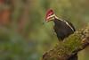 Pileated Woodpecker (Martin Dollenkamp) Tags: vancouverisland pileated dryocopuspileatus woodpecker bird red white black