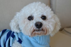 Ollie 3 (Krasivaya Liza) Tags: ollie granddog grand dog doggie bichon frise pet atlanta ga georgia