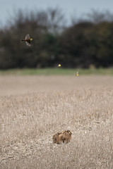 SK5_2022 (glidergoth) Tags: therfield hertfordshire arable fields downs brownhare lepuseuropaeus