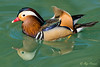 Mandarin Duck – 1 (Roy Prasad) Tags: duck mandarinduck mandarin