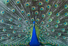 Peacock at @LAArboretum (mnag62) Tags: peacock laaroboretum laarboratum arcadia birds