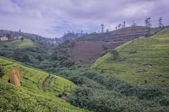 850_2510 (stephho2015) Tags: tea ceylon teaplantation srilanka