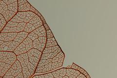 S0048 (Elisabeth patchwork) Tags: veins leaf red blattadern sigma105mm