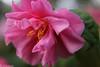 Pink Camellia (Barbara.Elizabeth) Tags: color macro upclose blur bokeh canon80d