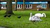 Welcome to Stratford on Avon (Dave_A_2007) Tags: corvidae corvuscorone bird carrioncrow crow nature swan wildlife stratforduponavon warwickshire england
