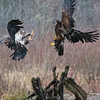 Eagle Confrontation (Rusty Turnbuckle) Tags: juvenilebaldeagles eagles feathers birds skagitriver pacificnorthwest