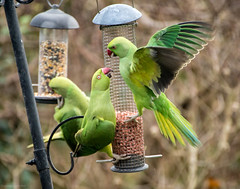 South London Parakeets (Rachel EMF) Tags: parakeet