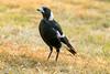 Magpie (mandark_898) Tags: bird evil bw red evileye sharp beak grass brown