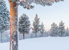 Early Light, Trees (pixellesley) Tags: trees bark trunk patterned snow ice cold finland lapland dawn landscape lesleygooding winter driving