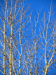 Tree Branches And Sky. (dccradio) Tags: lumberton nc northcarolina robesoncounty outdoors outside tree trees branches treebranches treelimbs sky skies morningsky goodmorning morning bluesky nature natural beauty godshandiwork pods seedpods winter january canon powershot elph 520hs